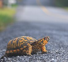 Eastern Box Turtle by Adam Petty