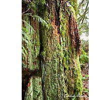 Antique Cedar Stump Photographic Print
