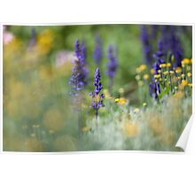 Lavender Colours Poster