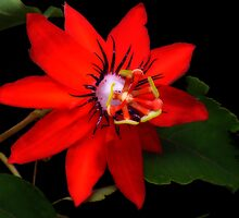 Pasiflora Coccinea - Passion Flower by Guy Tschiderer