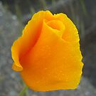 ORANGE CALIFORNIA POPPY by MsLiz