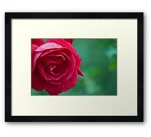 Red Blooming Rose Framed Print