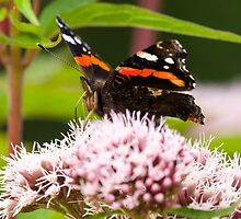 Red Admiral on Plant by TomGreenPhotos