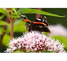 Red Admiral on Plant Photographic Print