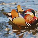 Mandarin Duck by jsmusic