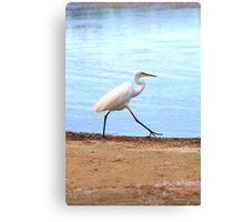 Waterbird hunting, Narrabeen Lakes Canvas Print