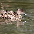 Chestnut Teal ~ Female by Robert Elliott