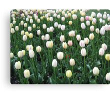 Field of White and Pink Tulips 2 Canvas Print
