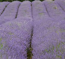 Rows of Lavender by Jacqueline Moore