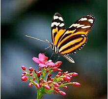 Ithomiidae Photographic Print
