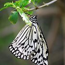 Danaidae by Pamela Hubbard