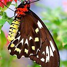 Papilionidae by Pamela Hubbard