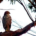 Brown Goshawk by LouJay