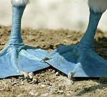 Blue Footed Booby Bird Feet by Paris Lee