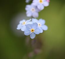 Forget me not  by JacquiHall