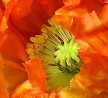 Poppy's Springtime Opening by SmoothBreeze7