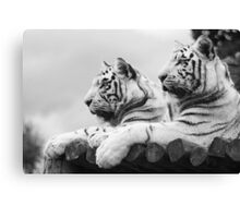 White Tigers Canvas Print