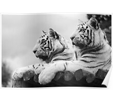 White Tigers Poster