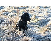 Cocker Spaniel in Frost Photographic Print