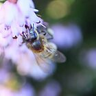 Bee on the heather in February - image 1 by missmoneypenny