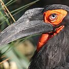 Ground Hornbill by Robert Abraham