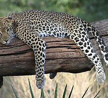 Lazy Leopard by CandA