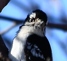 I Know I'm Cute - Downy Woodpecker by KatsEye