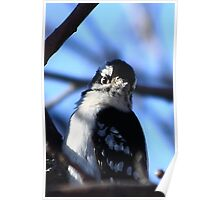 I Know I'm Cute - Downy Woodpecker Poster
