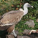 Griffon Vulture by Robert Abraham