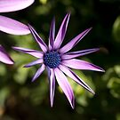 Purple Daisy by Rosemaree