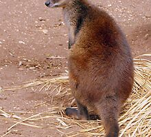 Swamp Wallaby by Clive