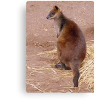 Swamp Wallaby Canvas Print