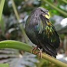 Nicobar Pigeon by Robert Abraham