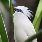 Bali Starling by Robert Abraham