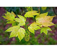 Glorious Maple leaf Photographic Print