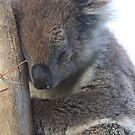Koala Sleeping by sarah ward