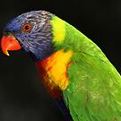 Rainbow Lorikeet-6403 by Barbara Harris