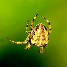 Spider by Trevor Kersley
