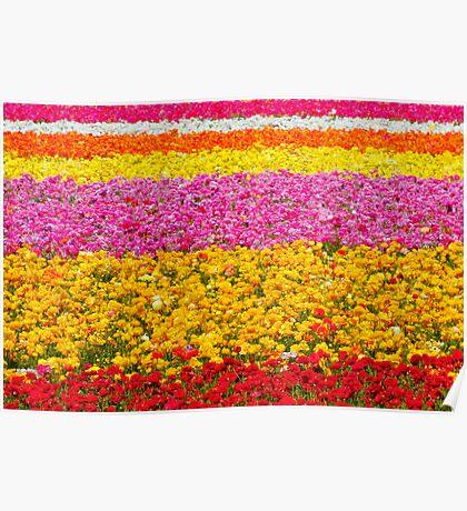 Giant Ranunculus Flower Fields Carlsbad, CA Poster