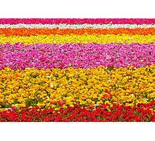 Giant Ranunculus Flower Fields Carlsbad, CA Photographic Print