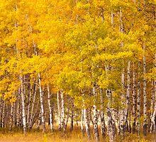 Aspen Grove by lkamansky