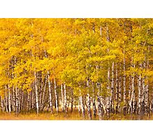 Aspen Grove Photographic Print