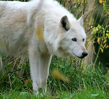 Arctic Wolf by Rhonda R Clements
