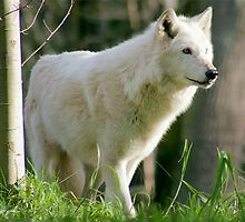 Arctic Wolf 2 by Rhonda R Clements