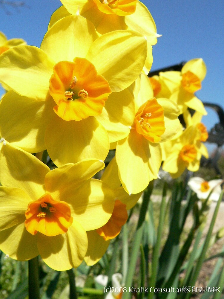 Daffodil Days by KCGraphics