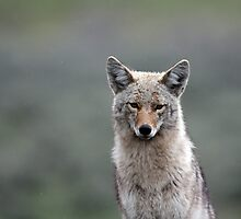 Coyote Stare by Chris Snyder