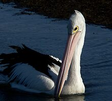 Pelican V by Tom Newman