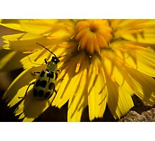 Cucumber beetle Photographic Print