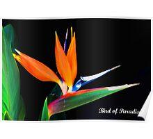 Strelitzia reginae, Poster