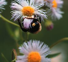 BEE ON ROBINS PLANTAIN by Chuck Wickham